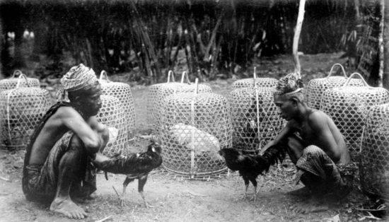permainan sabung ayam yang semakin populer di indonesia